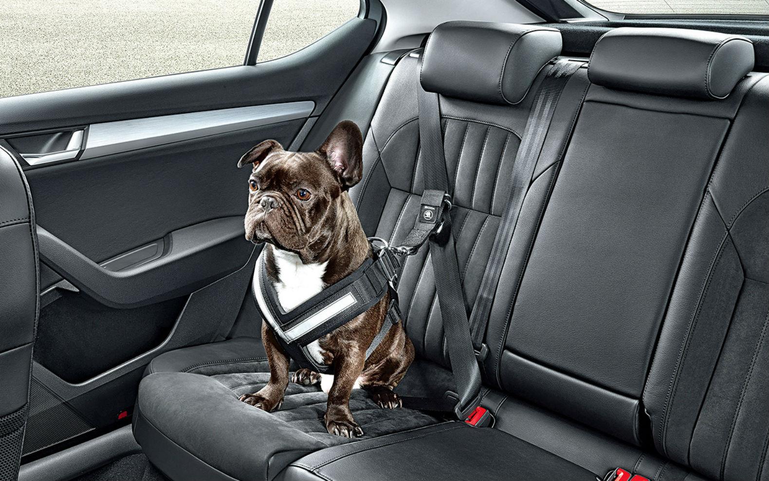 Cum transportăm în siguranță animalele de companie cu mașina